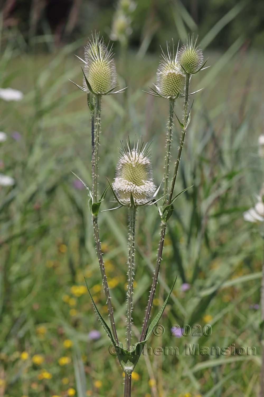 Dipsacus laciniatus