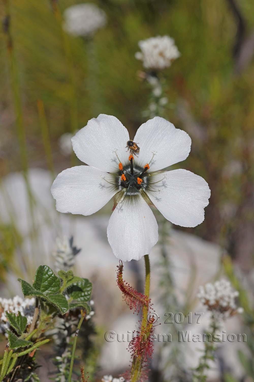 Drosera cistiflora