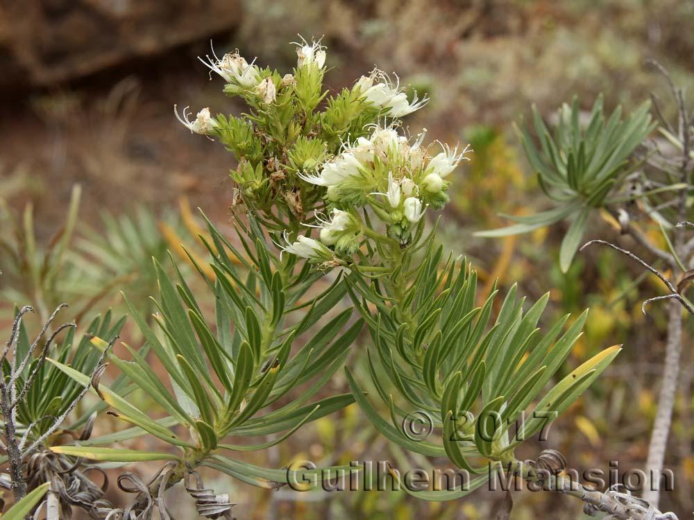 Echium aculeatum
