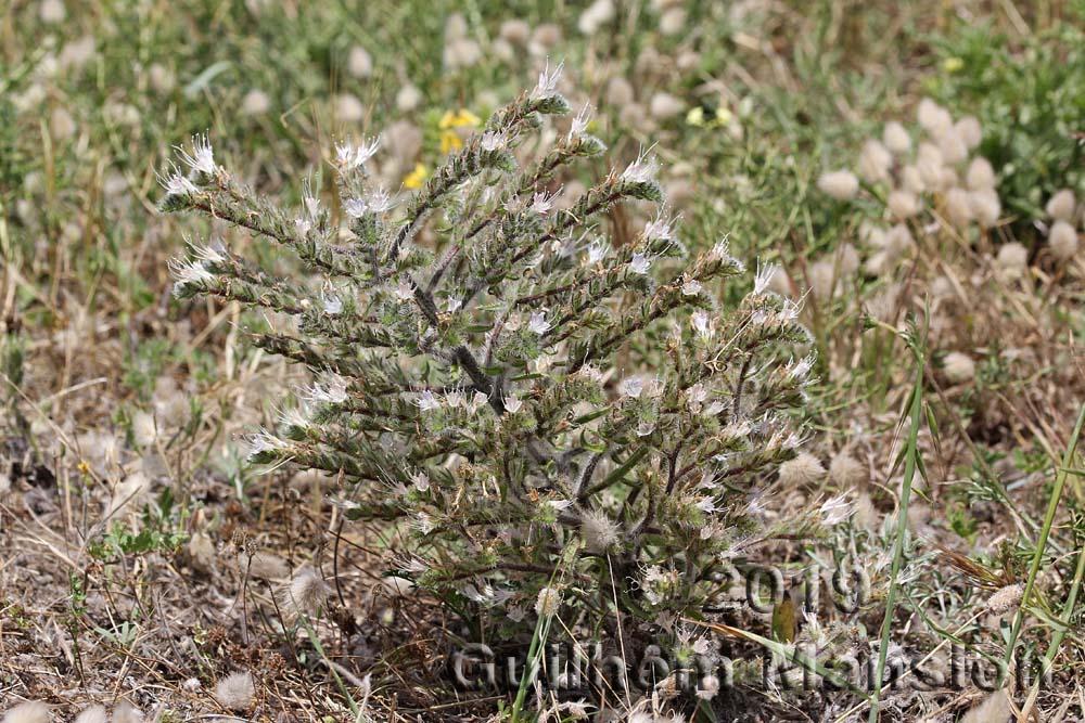 Echium italicum subsp. siculum