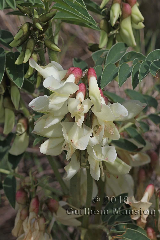 Erophaca baetica