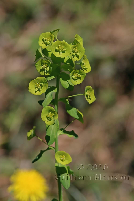 Euphorbia amygdaloides