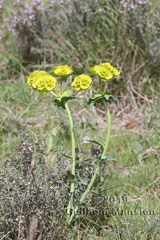 Euphorbia serrata