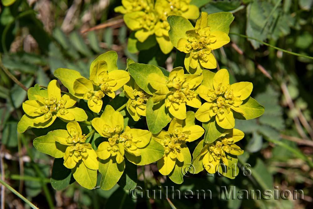 Euphorbia verrucosa