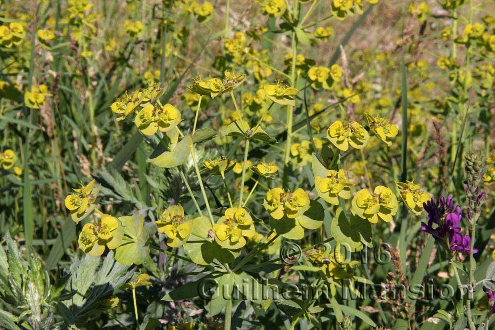 Euphorbia virgata