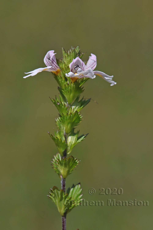Euphrasia officinalis subsp. rostkoviana