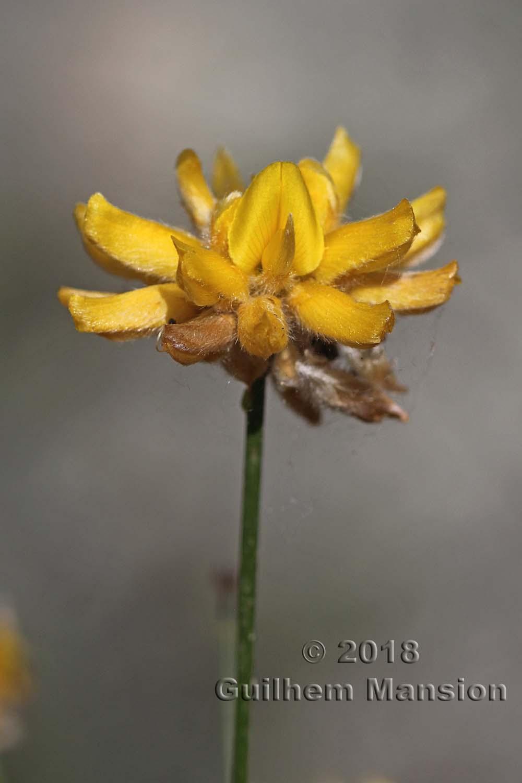 Genista umbellata subsp. equisetiformis