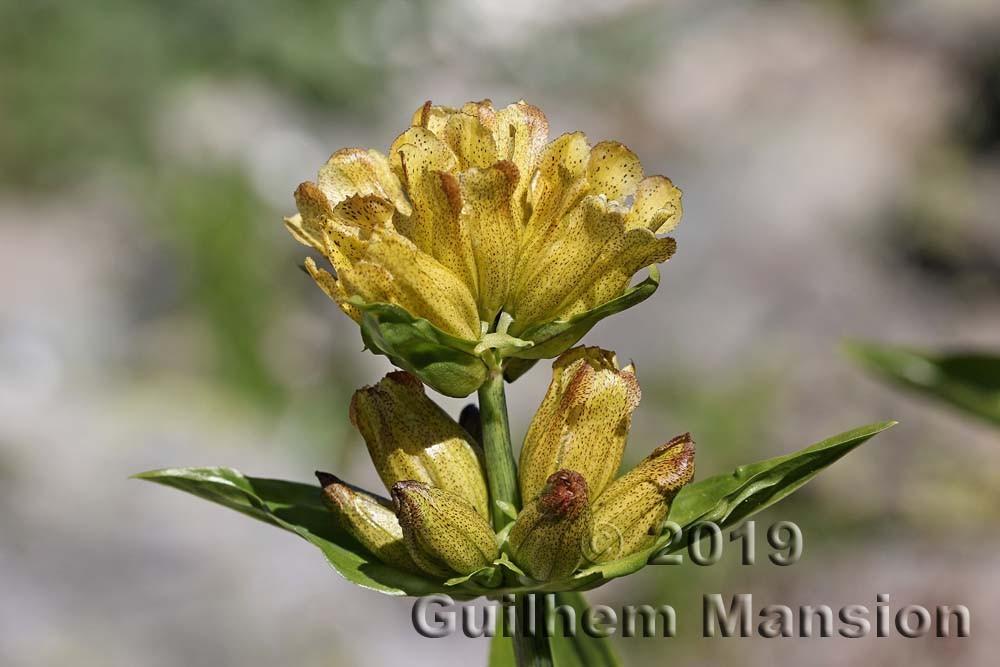 Gentianaceae