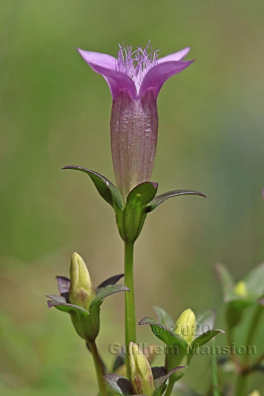 Gentianella germanica