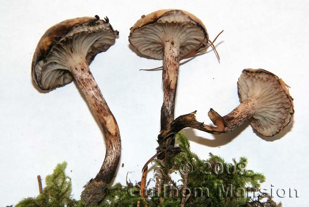 Gomphidiaceae