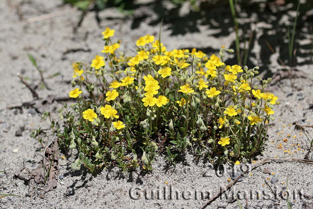 Helianthemum alpestre