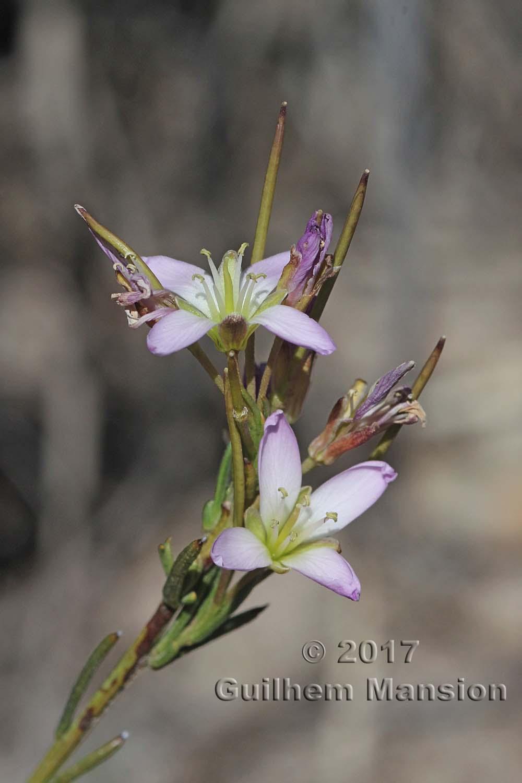 Heliophila scoparia