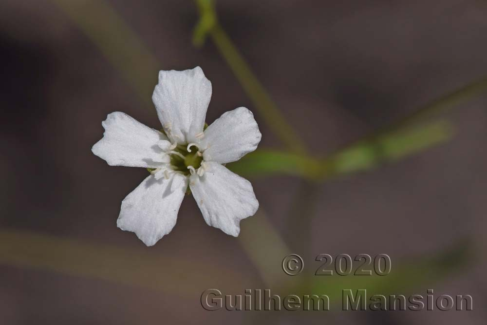 Heliosperma pusillum [Silene pusilla]