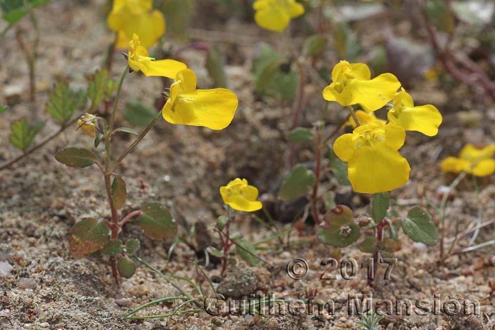 Hemimeris racemosa