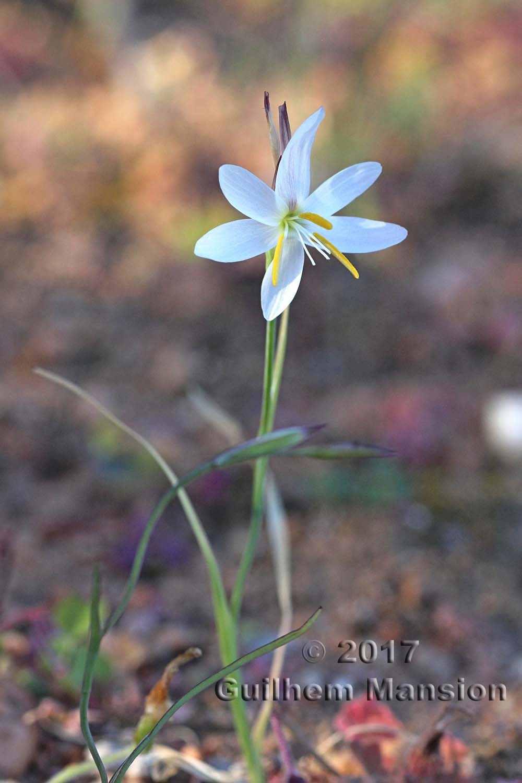 Hesperantha bachmannii