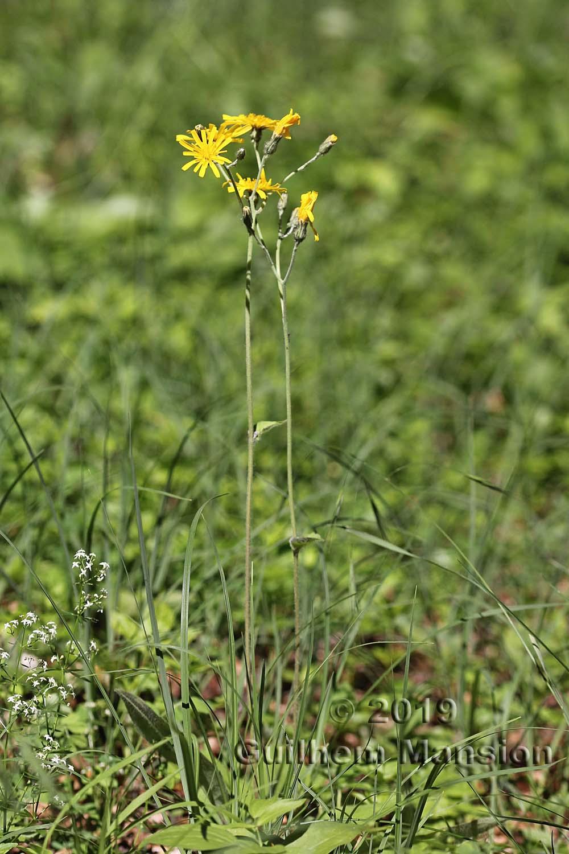 Hieracium sylvaticum