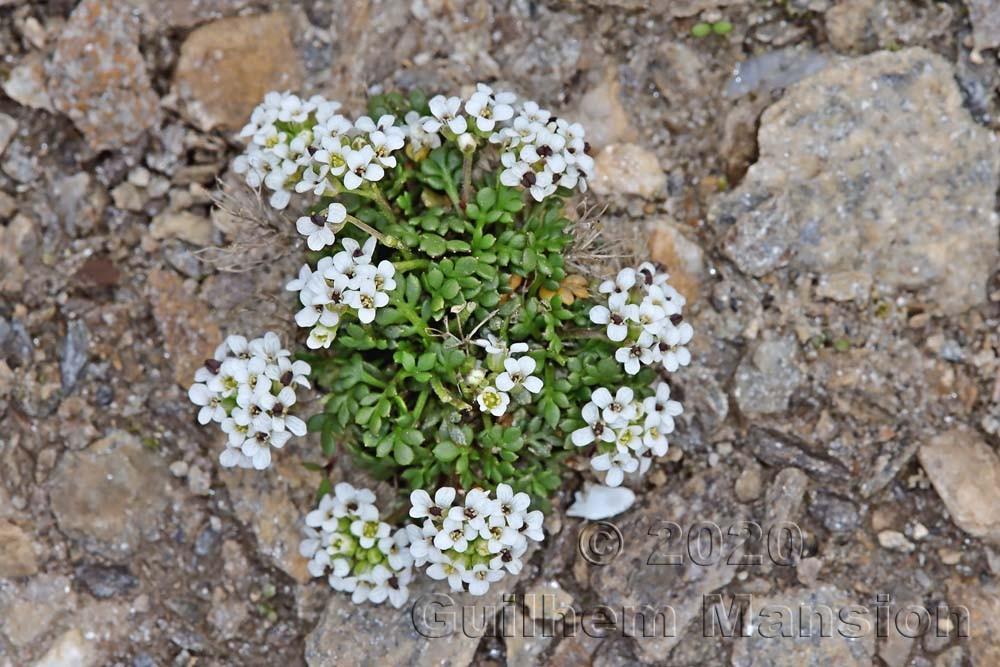 Hornungia alpina subsp. brevicaulis [Pritzelago alpina]