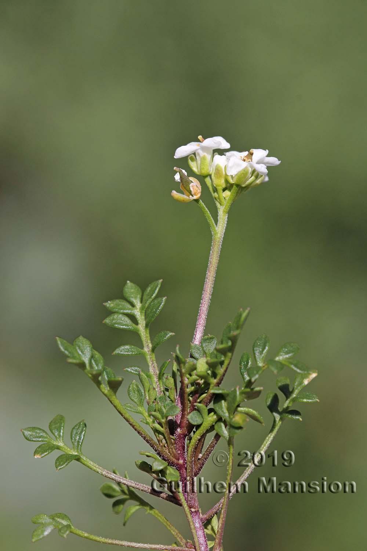 Hornungia alpina [Pritzelago alpina]