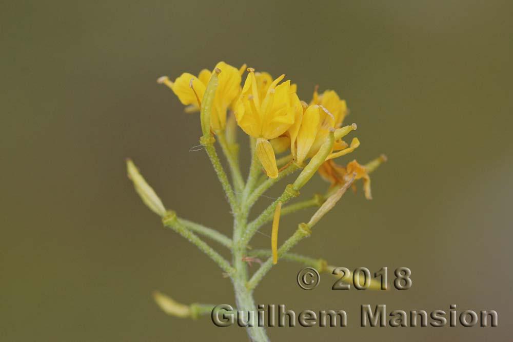 Hugueninia tanacetifolia
