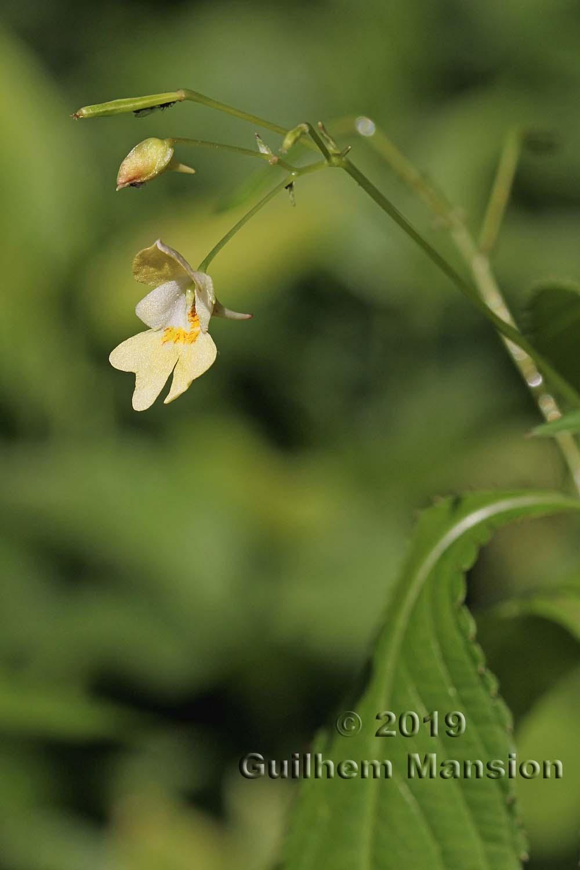 Impatiens parviflora