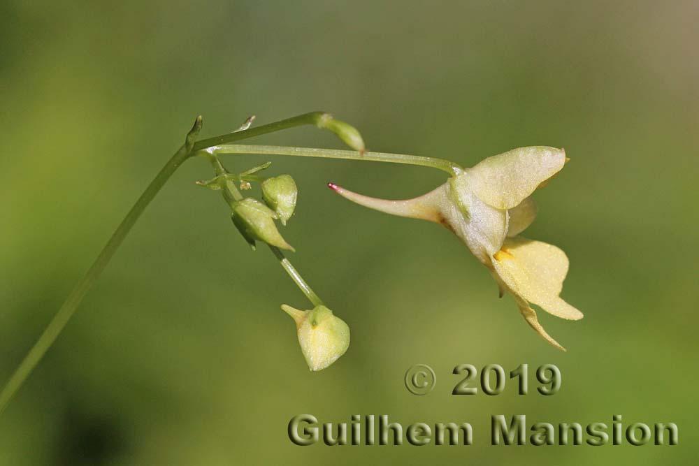 Balsaminaceae