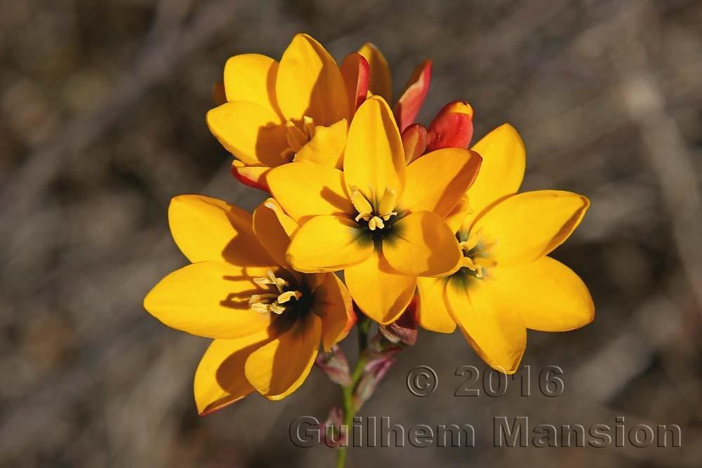 Ixia maculata