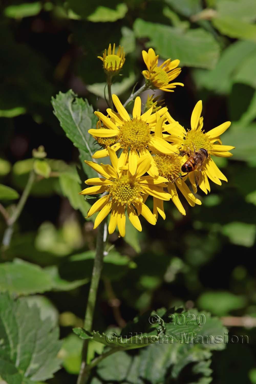 Jacobaea alpina [Senecio alpinus]