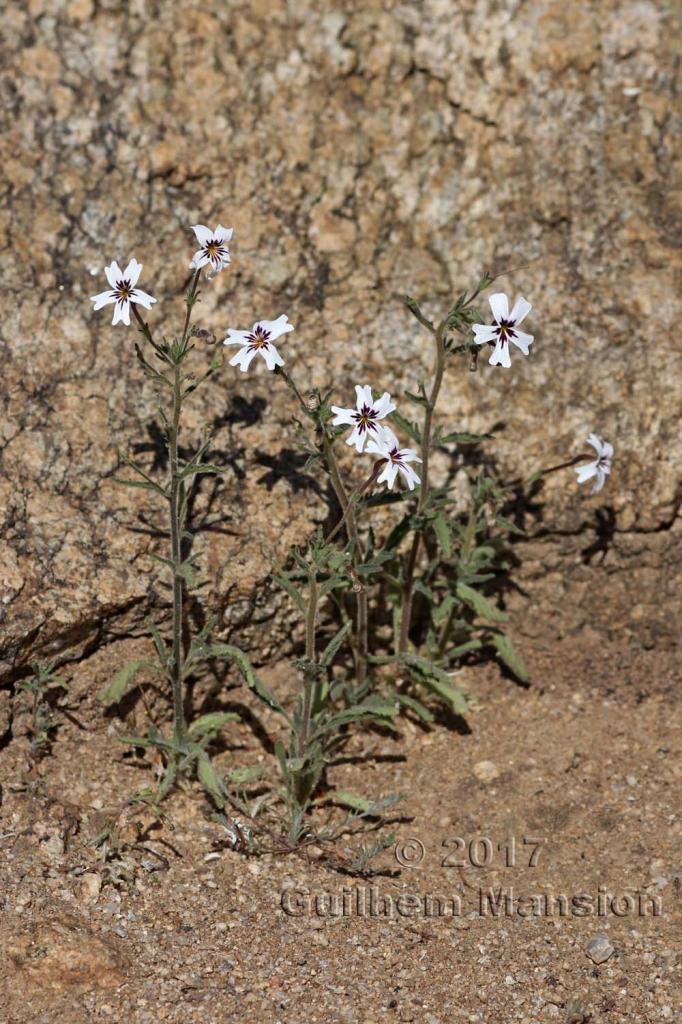 Jamesbrittenia racemosa