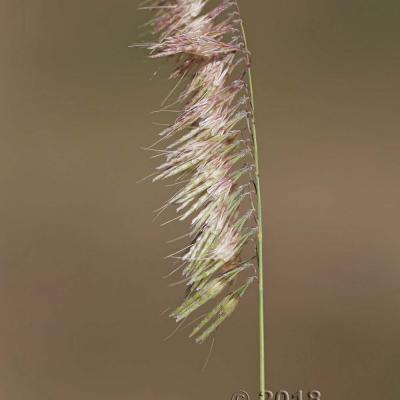 Lamarckia
