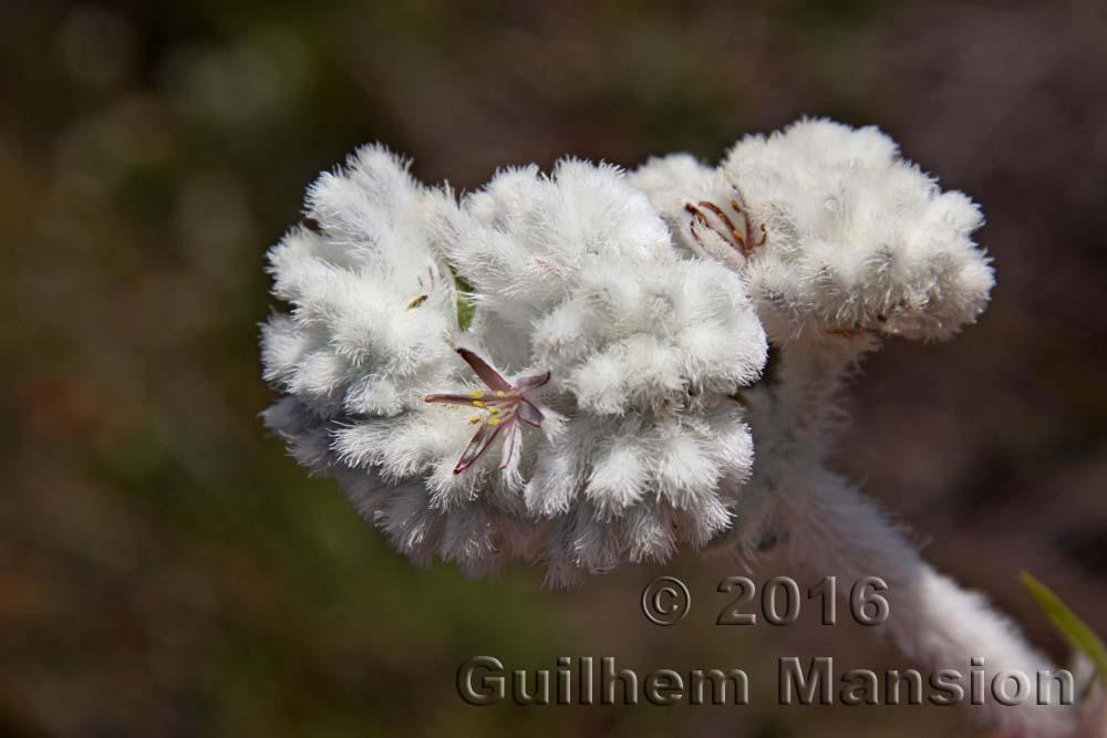 Lanariaceae