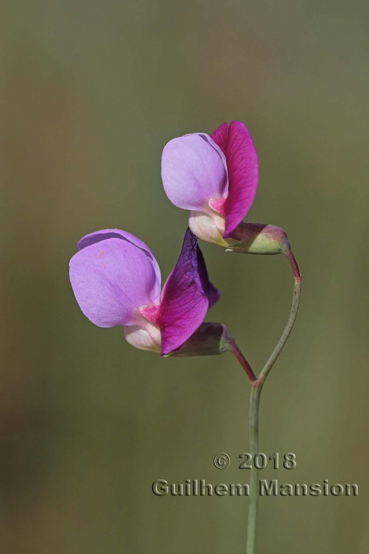 Lathyrus clymenum
