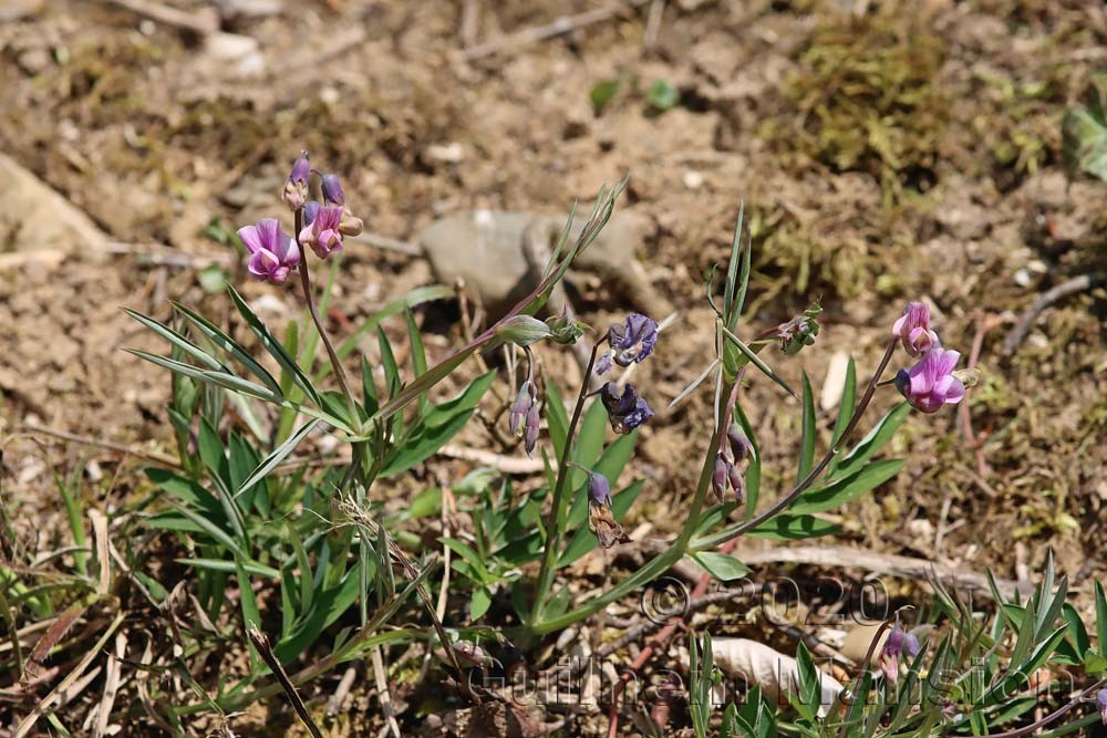 Lathyrus linifolius