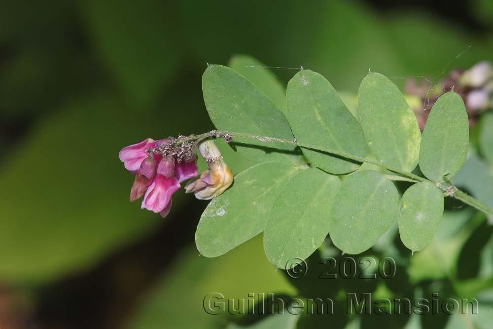 Lathyrus niger