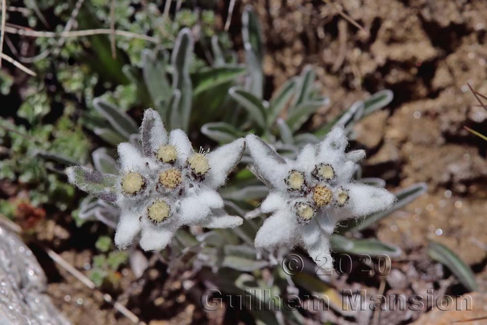 Leontopodium nivale subsp alpinum