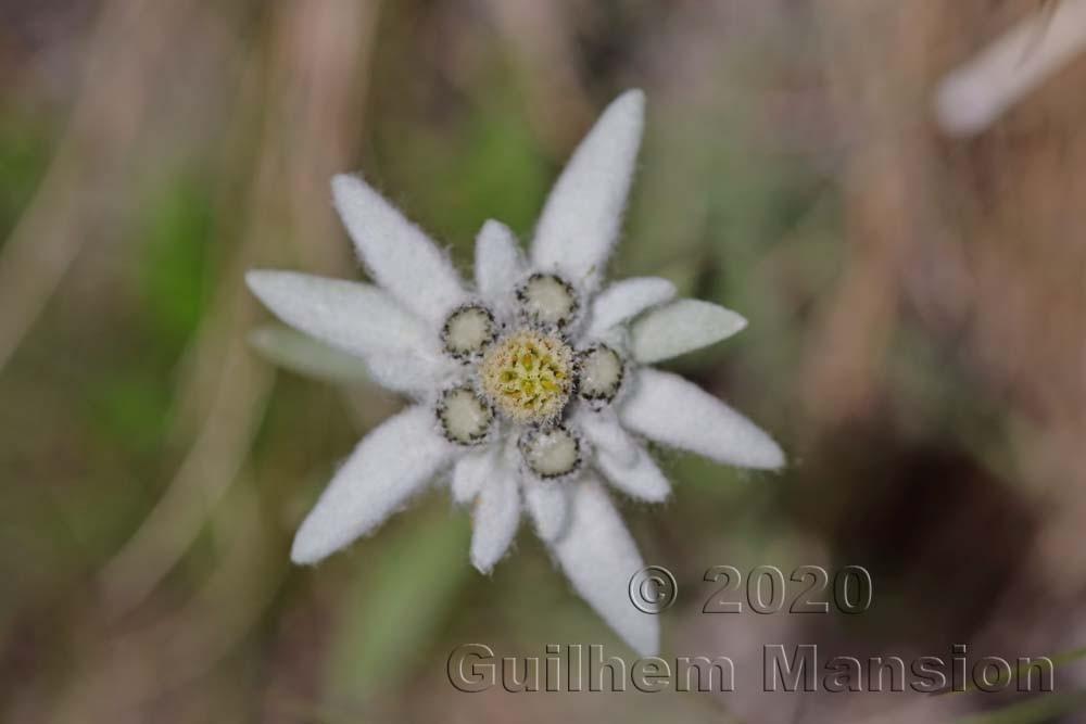 Leontopodium nivale subsp. alpinum