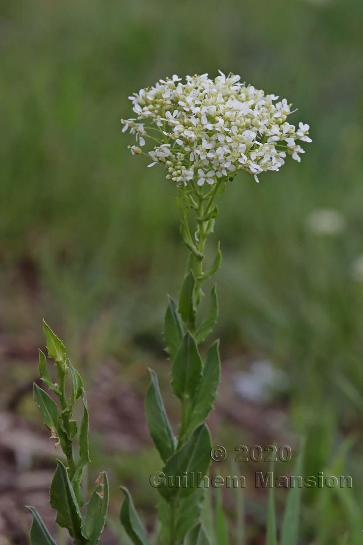 Lepidium draba
