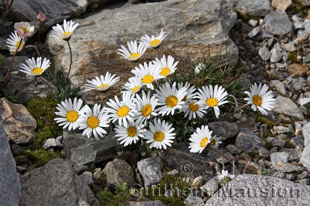 Leucanthemopsis alpina subsp. minima