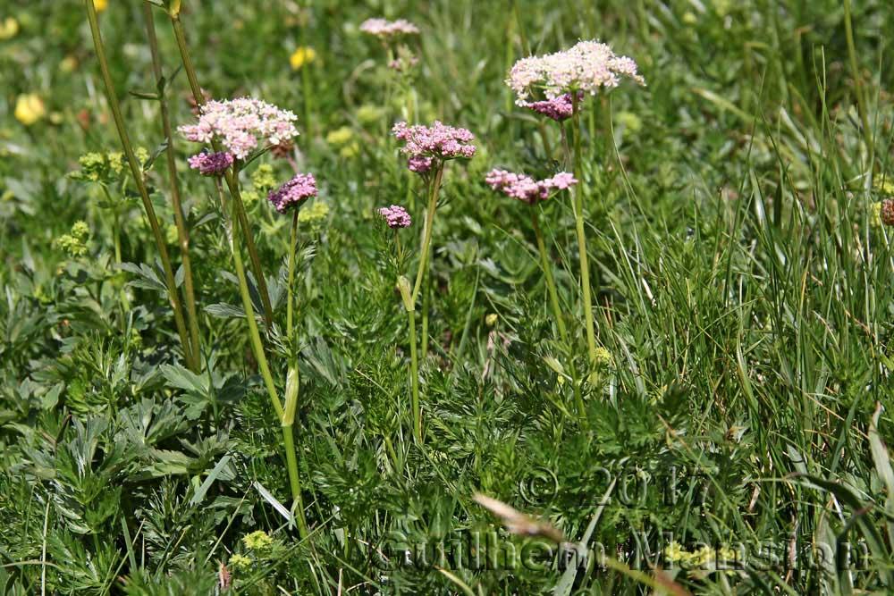Mutellina adonidifolia [Ligusticum mutellina]