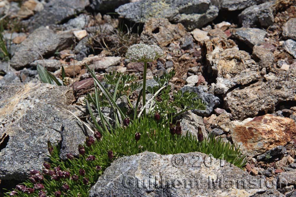 Pachypleurum [Ligusticum] mutellinoides