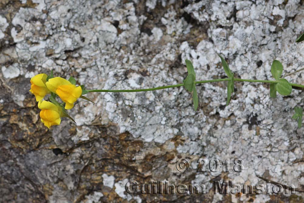 Linaria platycalyx
