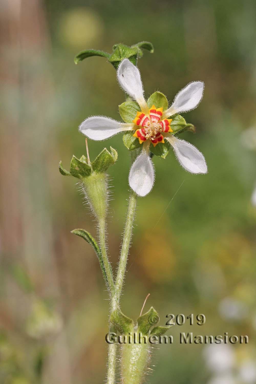 Loasaceae