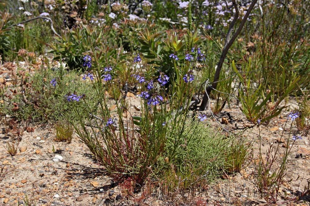 Lobelia coronopifolia
