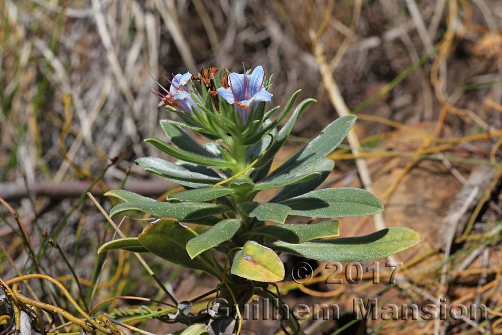 Lobostemon montanum