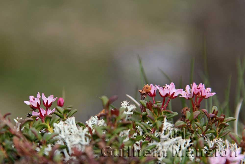 Kalmia [Loiseleuria] procumbens