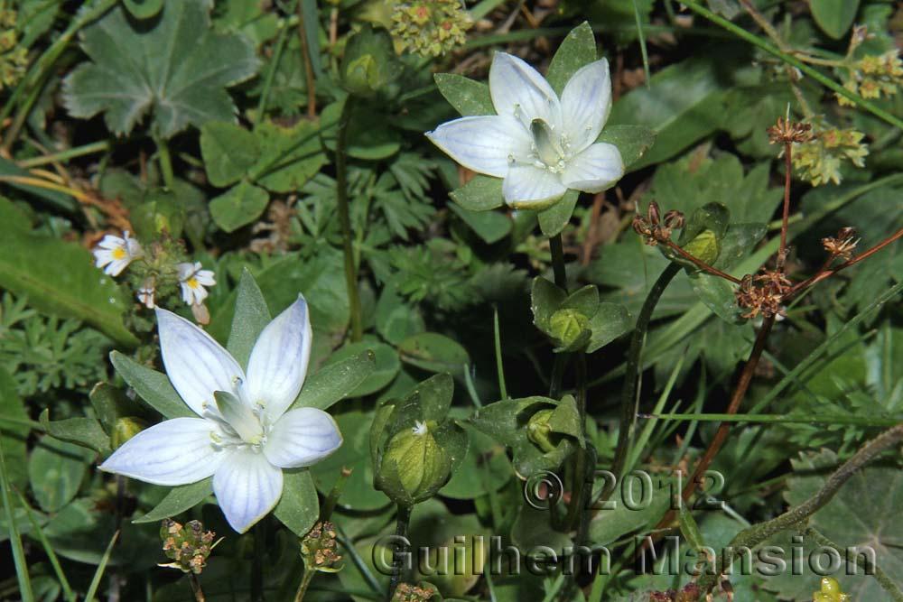 Lomatogonium carinthiacum