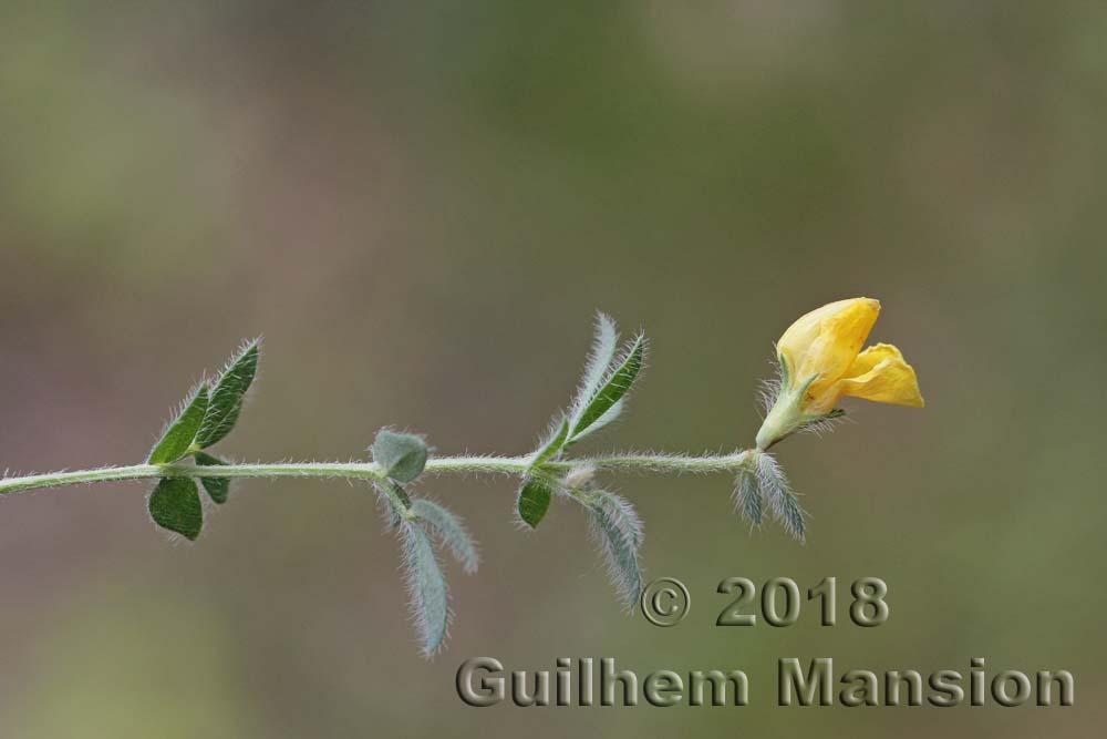 Lotus corniculatus (subsp. hirsutus)