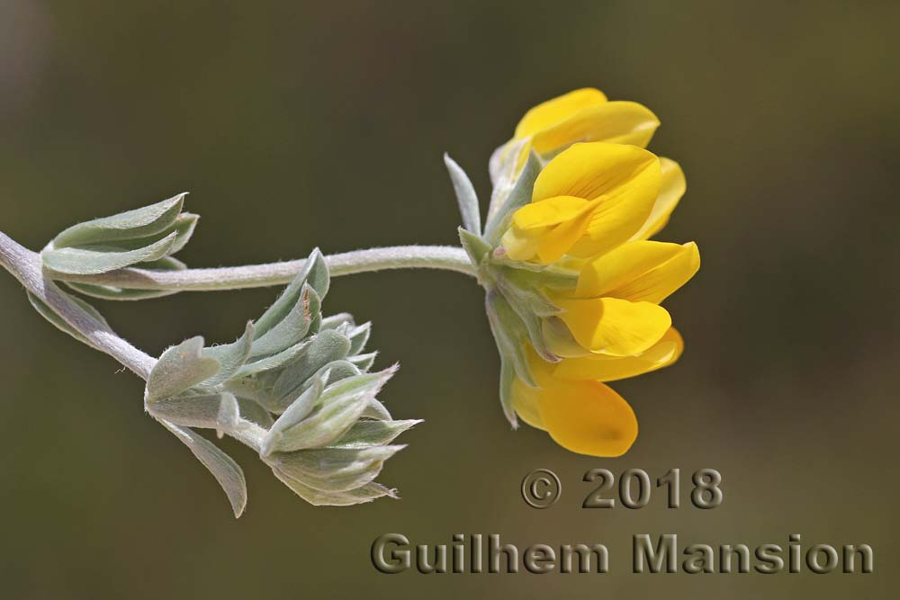 Lotus creticus