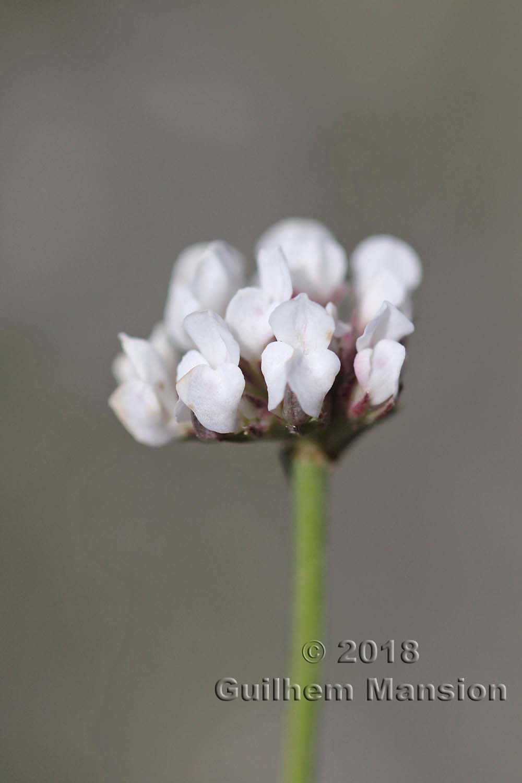 Lotus dorycnium