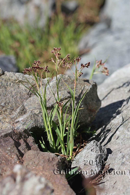 Luzula alpino-pilosa