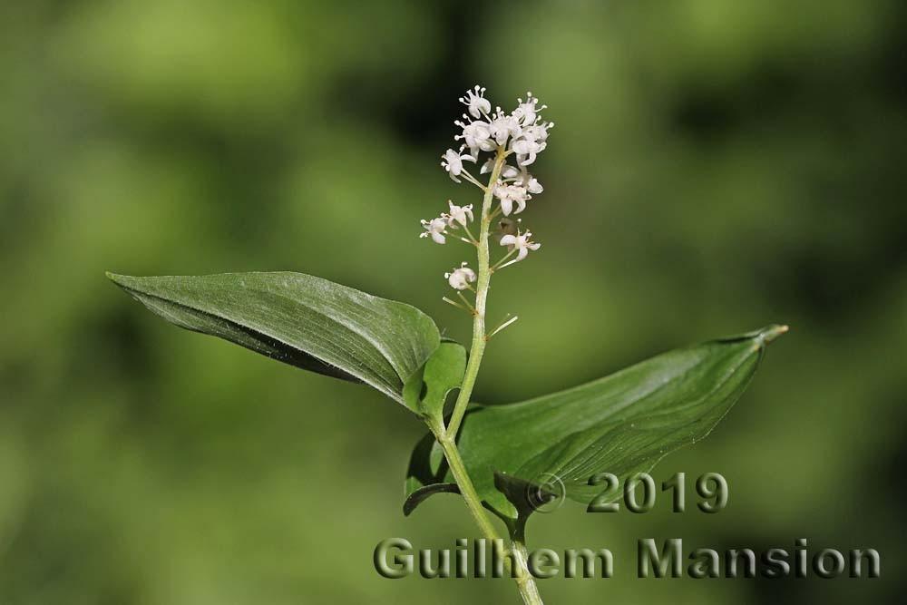 Nolinoideae [Ruscaceae]